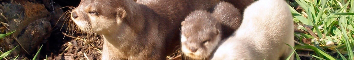 Adorable Otters in Our Outdoor Enclosure